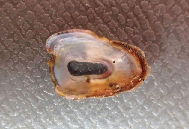 15mm SL 前後になる。スカシガイよりも貝殻は幅があり短く、殻高は低い。頂孔はほとんどくびれず直線的で、中央部のやや後方に開く。
