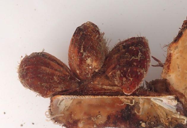 40mm SL 前後になる。貝殻は背と腹につき平たい貝殻が背、深い方が腹で扇形の要の部分が殻長にあたる。貝殻に太い放射肋が走る。