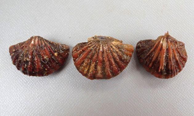 タテスジホオズキガイの形態写真