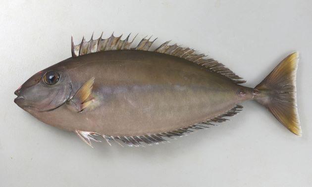 シノビテングハギの形態写真