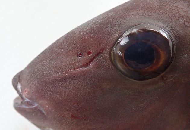 後鼻孔の直後,眼の前方に1本の溝がある。