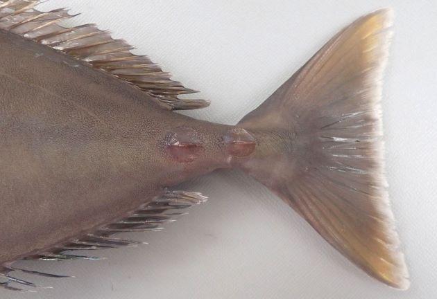 尾鰭はほぼ截形(後縁が直線に近い)で尾柄部に2個の骨質板があり左右に張り出す。