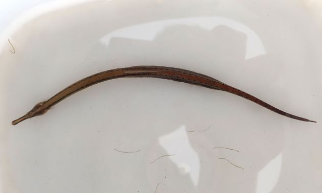 SL 18cm前後になる。体に縁取りのある丸い斑紋が散らばる。腹部の中央隆起はよく発達する。吻の中央隆起はまっすぐ。