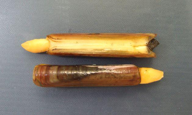 殻長10cm前後。長方形で長い。貝殻は赤味を帯びている。