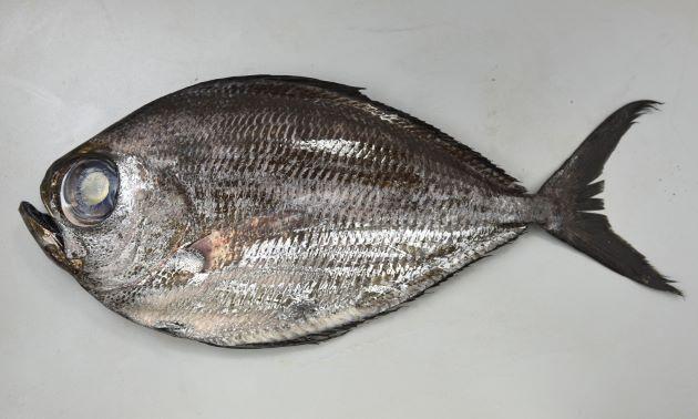 背鰭・尻鰭は幼魚・若魚では著しく長く、成魚は長く、折りたたむことができる。