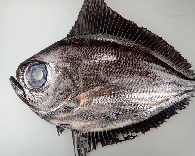 40cm SL 前後になる。側へんし、若魚では細長く、成長するにしたがい体高が長くなり鯛型に近づく。背鰭・尻鰭は幼魚・若魚では著しく長く、成魚は長く、折りたたむことができる。体表の黒色はすれると取れる。背鰭起部は若魚では目の後縁附近より後方にある。成魚の背鰭起部は鰓蓋後縁のほぼ上方にある。背鰭・尻鰭の基底部には鱗鞘をのぞき鱗はない。[写真は40cm SL 重さ1411g]