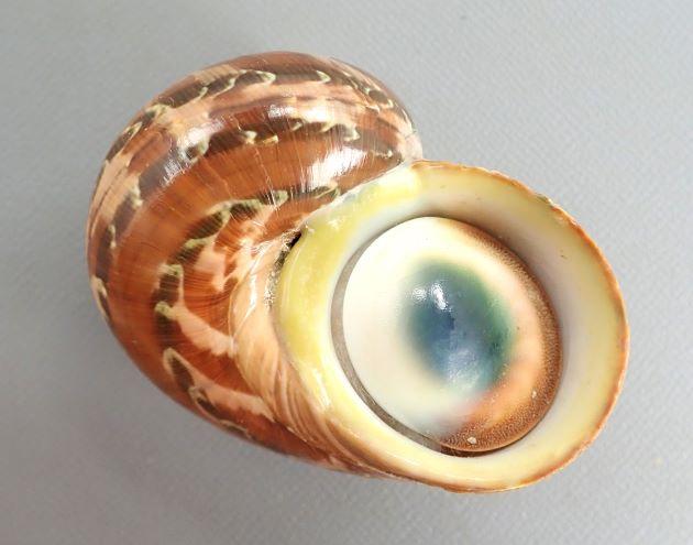 8.5cm SH 前後になる。螺層はよくふくらみ全体に丸みがある。内唇は黄色。赤褐色の地に濃い褐色の帯がある。