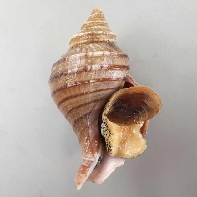 フジイロエゾボラの形態写真