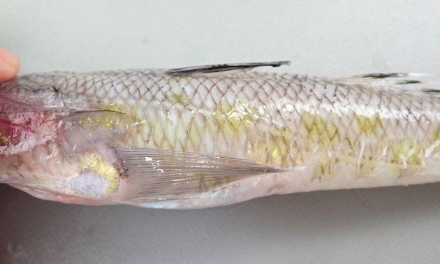 側線は前方から第2背鰭にかけて緩やかに下方に曲がる。