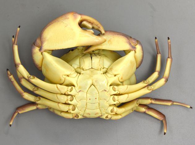 甲長15cm前後になる。甲羅に11個の赤褐色の斑紋があり。中央部と目の後方の5個が大きい。