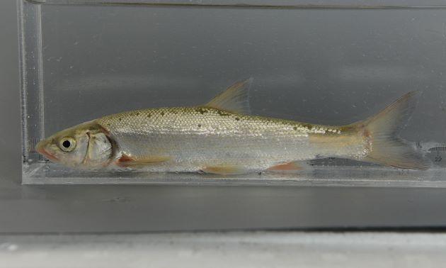 体長30cm前後になる。やや側扁(左右に平たい)し、下顎は上顎よりも前に出ない。尻鰭の外縁は少し湾入する。全体が銀色で産卵期には下方頭部から腹にかけて赤い筋ができる。