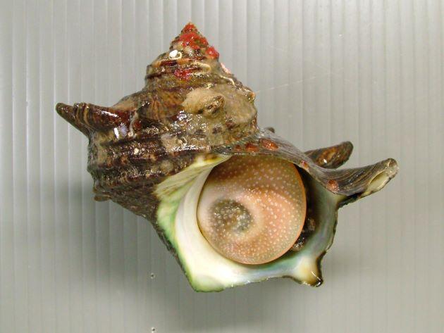 日本海のサザエはあまり大きくならず、成長しても殻長10cmほど、太平洋側のものは非常に大きくなり、殻長20cmを超えるものがある。殻に5本内外の螺肋(筋)があり、成長すると管状の棘を伸ばすものと伸ばさないものとがある。[棘のあるタイプ]