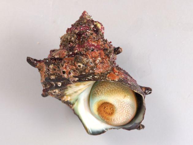 日本海のサザエはあまり大きくならず、成長しても殻長10cmほど、太平洋側のものは非常に大きくなり、殻長12cmを超えるものがある。殻に5本内外の螺肋(筋)があり、成長すると管状の棘を伸ばすものと伸ばさないものとがある。[表面に海藻やフジツボに覆われてることもある]