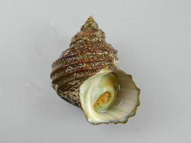 日本海のサザエはあまり大きくならず、成長しても殻長10cmほど、太平洋側のものは非常に大きくなり、殻長12cmを超えるものがある。殻に5本内外の螺肋(筋)があり、成長すると管状の棘を伸ばすものと伸ばさないものとがある。[棘のないタイプ]