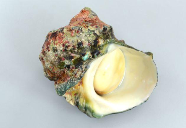 非常に大型になり、殻経20cm、2kg前後にもなる。貝殻は厚く、硬い。殻口は広く、蓋は陶器状で厚みがある。