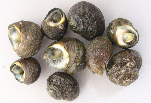 殻幅2.5cm前後になる。貝殻は硬く表面はゴツゴツしている。ふたがある。