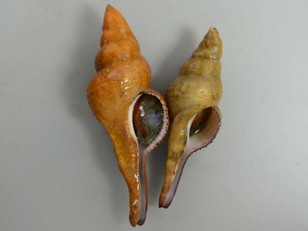 コナガニシの形態写真