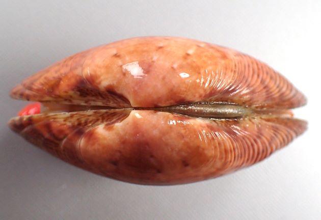 SL 80mm(殻長)前後になる。貝殻の模様は多様で、ふくらみがやや強く不規則な同心円肋で被われる。殻頂附近では平滑。