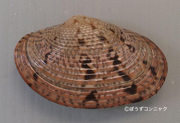 殻長6センチ近くになる。楕円形で薄い褐色に濃い褐色の斑紋があり、地味。輪脈が太く貝殻の中央で平行になる。