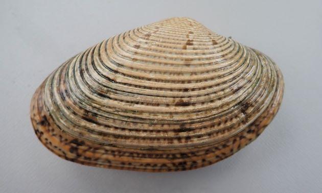 殻長10cm前後になる。楕円形で薄い褐色に濃い褐色の斑紋があり、地味。輪脈が太く貝殻の中央で平行になる。足の部分が鮮やかに赤い。