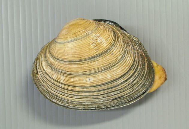 殻長10cm前後になる。非常にふくらむが強く、丸みがある。貝殻は厚く筋状の成長脈がある。貝殻の内側は濃い紫。