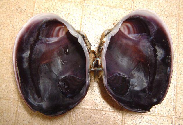 貝殻の内側は濃い紫色をしている。