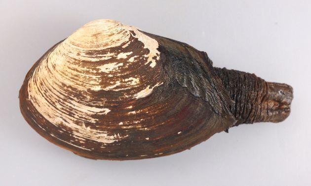 15cmを超えるものもある。貝殻は薄く小さく軟体は総て納まらない。ミルクイ「海松食」の名は、水管に海藻をつけていることがあり、これがミルを食べているかのごとく見えるためであるという。