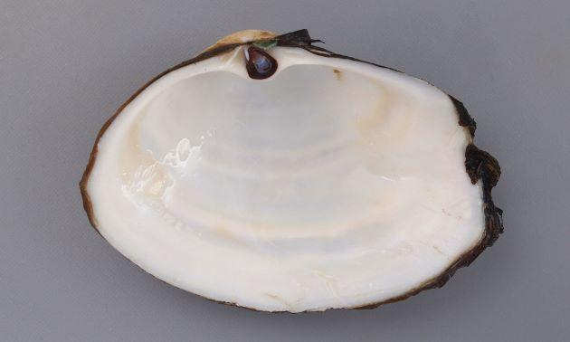 貝殻は薄く小さく軟体は総て納まらない。