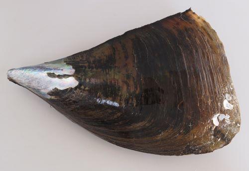 35cm前後になる。貝殻が三角形、薄く黒もしくは濃いオリーブ色。1990年代にタイラギは2種に分類しなおされていて、「貝殻の表面に放射状にはっきりした筋が入り、やや棘立つものをリシケタイラギ」、「表面が滑らかなものをタイラギ」とされている。