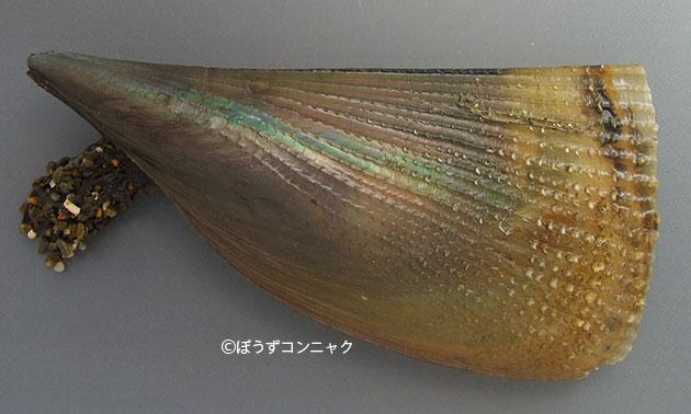 リシケタイラギの形態写真