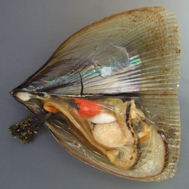25cm SL 前後になる。貝殻は薄く硬く割れやすい。表面に無数の放射肋があり、畝状の部分に棘がある。
