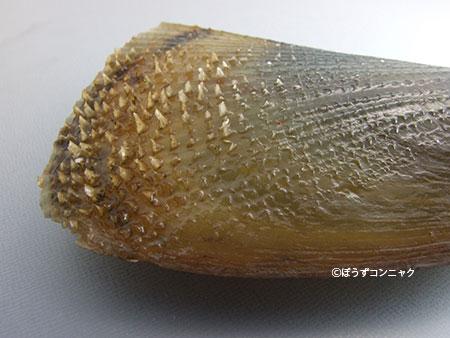 貝殻表面に強い返しができる。