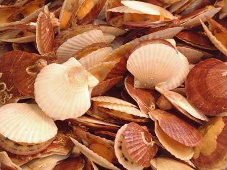 ホタテガイの稚貝