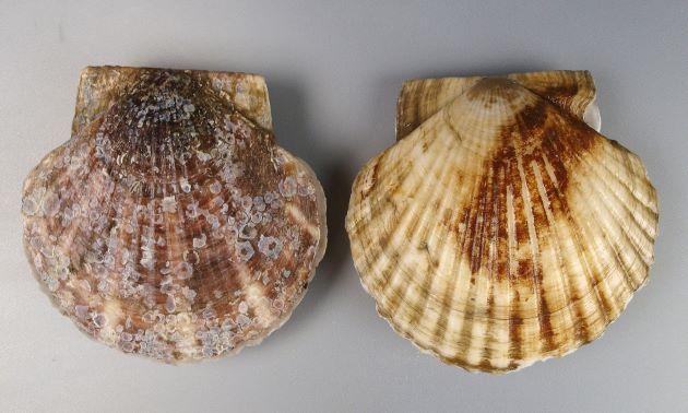 オホーツク海で地撒きといって、稚貝を撒いてある程度成長させて漁獲したもの。砂地の上にいて平たい部分を上にしているので、裏側は日焼けせずに白い。