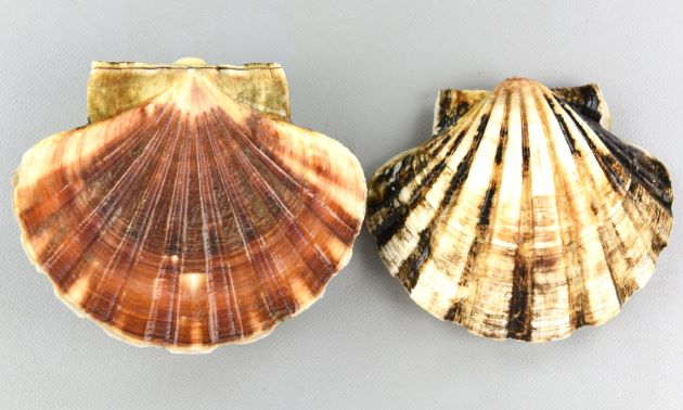 表面。殻長10cm前後になる。よく膨らむ。放射肋は幅が広く8本前後ある。