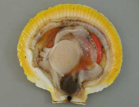 ツキヒガイの貝を開いたところ