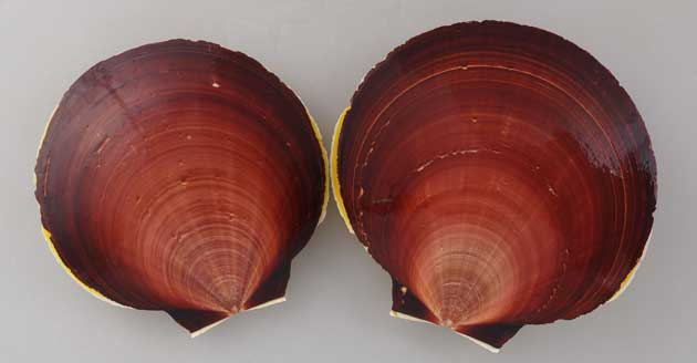 殻高12センチ前後になる大型の二枚貝。貝殻は薄く膨らみはほとんどなく、硬い。左側の貝殻は赤味を帯びた紫、右側の貝殻は黄白色。