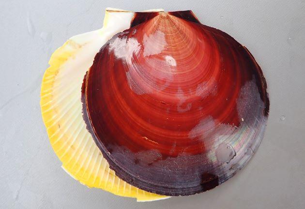 殻高12センチ前後になる大型の二枚貝。貝殻は円形に近く、非常に薄い。耳上突起は小さく、左殻は赤褐色、右殻は黄色みを帯びた白で膨らみは少ない。