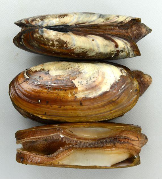 殻長14センチ前後になる。貝殻は褐色の殻皮をかぶり、薄くもろい。
