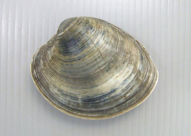 SL 10cm前後になる。貝殻はよくふくらみ硬く、厚い。灰白色で放射肋が目立つ。[東京湾三番瀬]