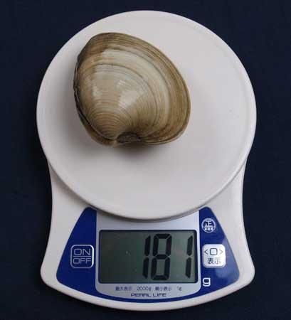 ホンビノスガイの殻を含む重さ