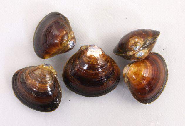 殻長3cm前後になる。茶褐色、黒褐色でつやがあり正三角形に近く、大型になると成長脈がくっきりしてくる。[木曽川産]