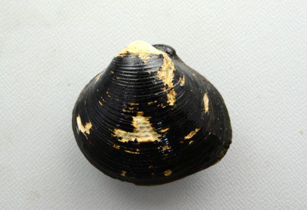 青森県小川原湖産の老成した個体。ツヤがなく殻頂などの殻皮がとれている。