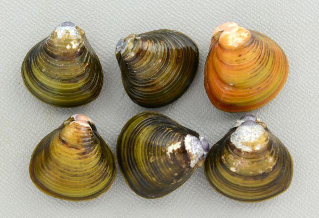 殻長3cm前後になる。黒もしくは茶色で正三角形でよくふくらむ。