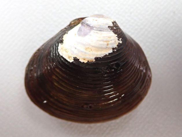殻長30nn前後になる。正三角形で黒もしくは茶色。成長脈がくっきりしている。楕円形に近いアワシジミ型、5センチ前後になるナリヒラシジミ型などがある。