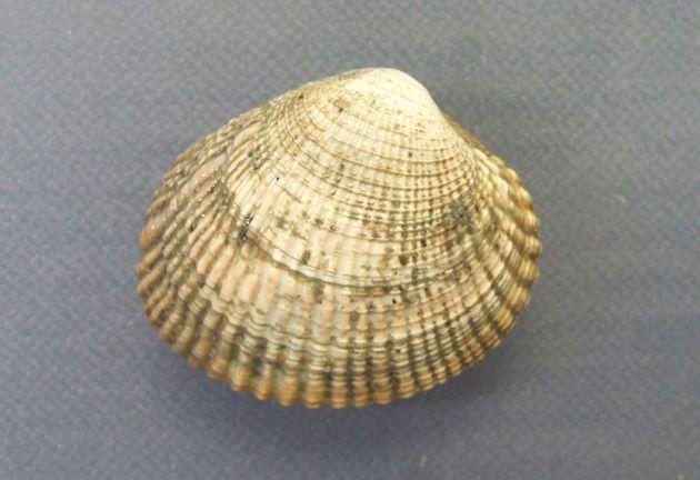 殻長3.5センチ前後。全体に丸みを帯びてよく膨らむ。放射録と成長線が強く、交差する部分で膨らむ。