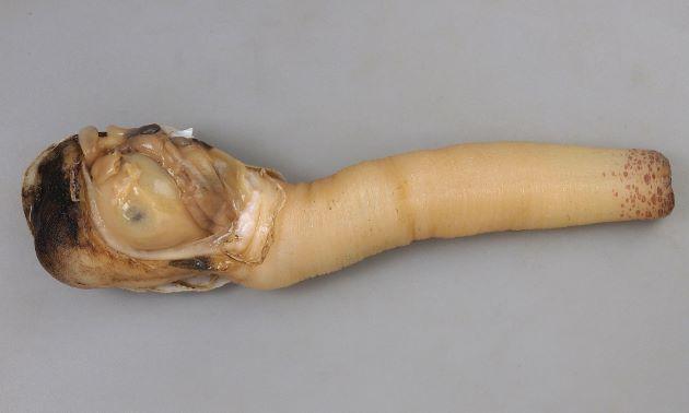 ナミガイの食べられる部分