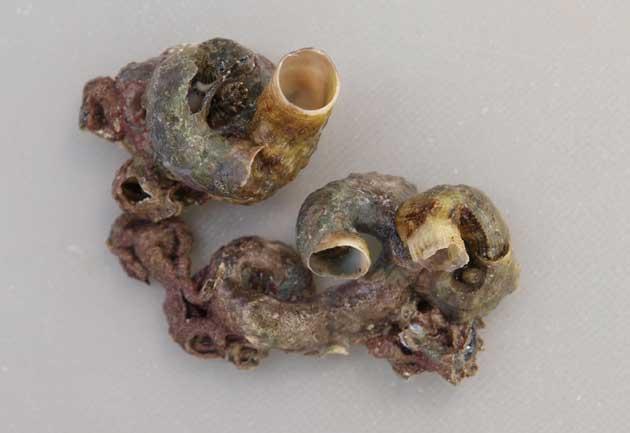 オオヘビガイの形態写真