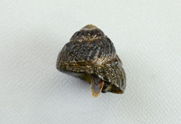 殻高3センチ前後になる。やや丸みのある比較的高い三角錐で螺肋が強い。へそは幼い頃は開いていることがあるが大きくなると閉じてしまうことが多くなる。完全にふさがらないものもいる。へそ周辺は緑色を帯びる。