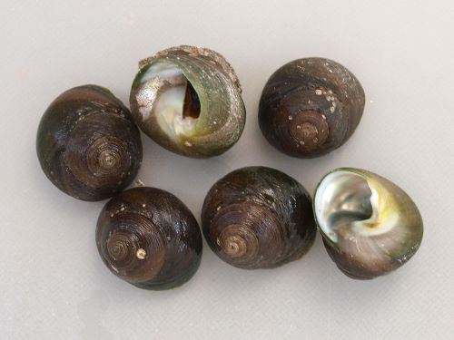 殻長2.8cm前後。多数の斜めの筋があるが、あまり深くはなく表面はすべすべしたように思える。臍孔周辺は緑色に染まることが多い。